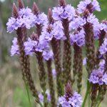 Rhoot Blue Vervain Herbal Tea Recipe