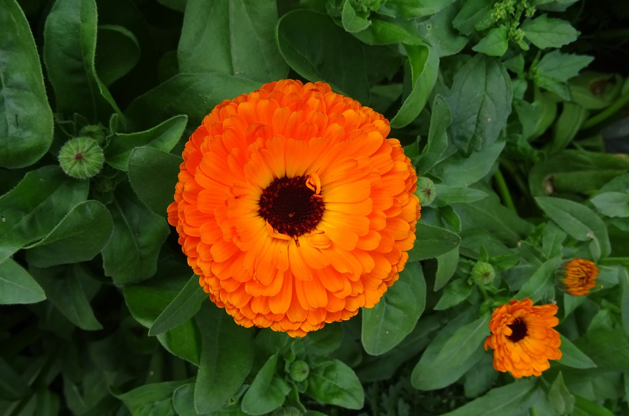 calendula herbal tea recipe