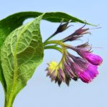 Comfrey and Linden Herbal Tea Recipe