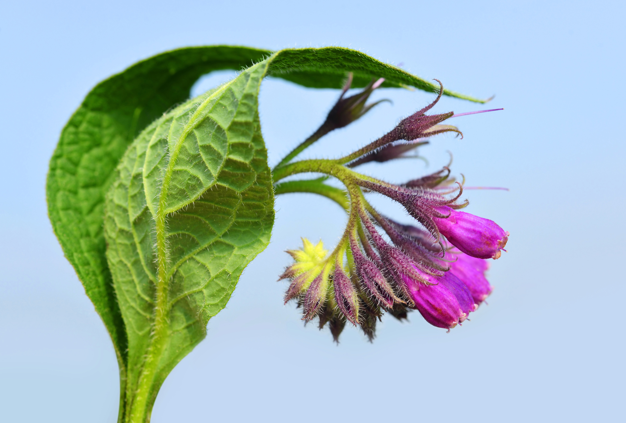 Comfrey and Linden Herbal Tea Recipe