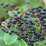 Rhoot Elderberry Herbal Tea Recipe
