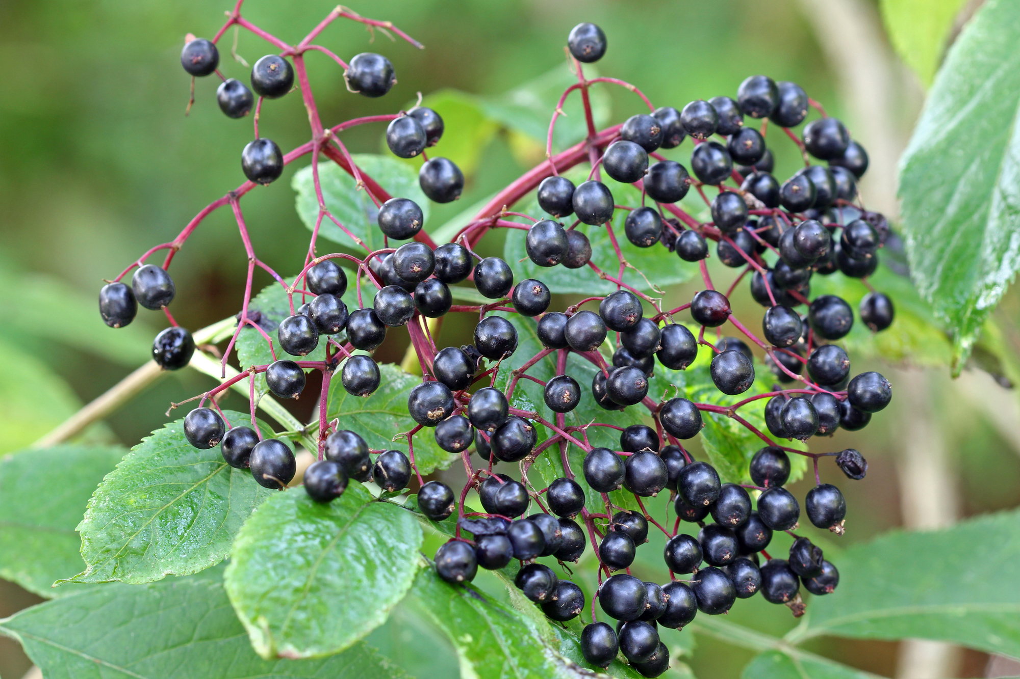 Rhoot Elderberry Herbal Tea Recipe