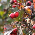 Rhoot Hawthorn Berries and Hibiscus Herbal Tea Recipe