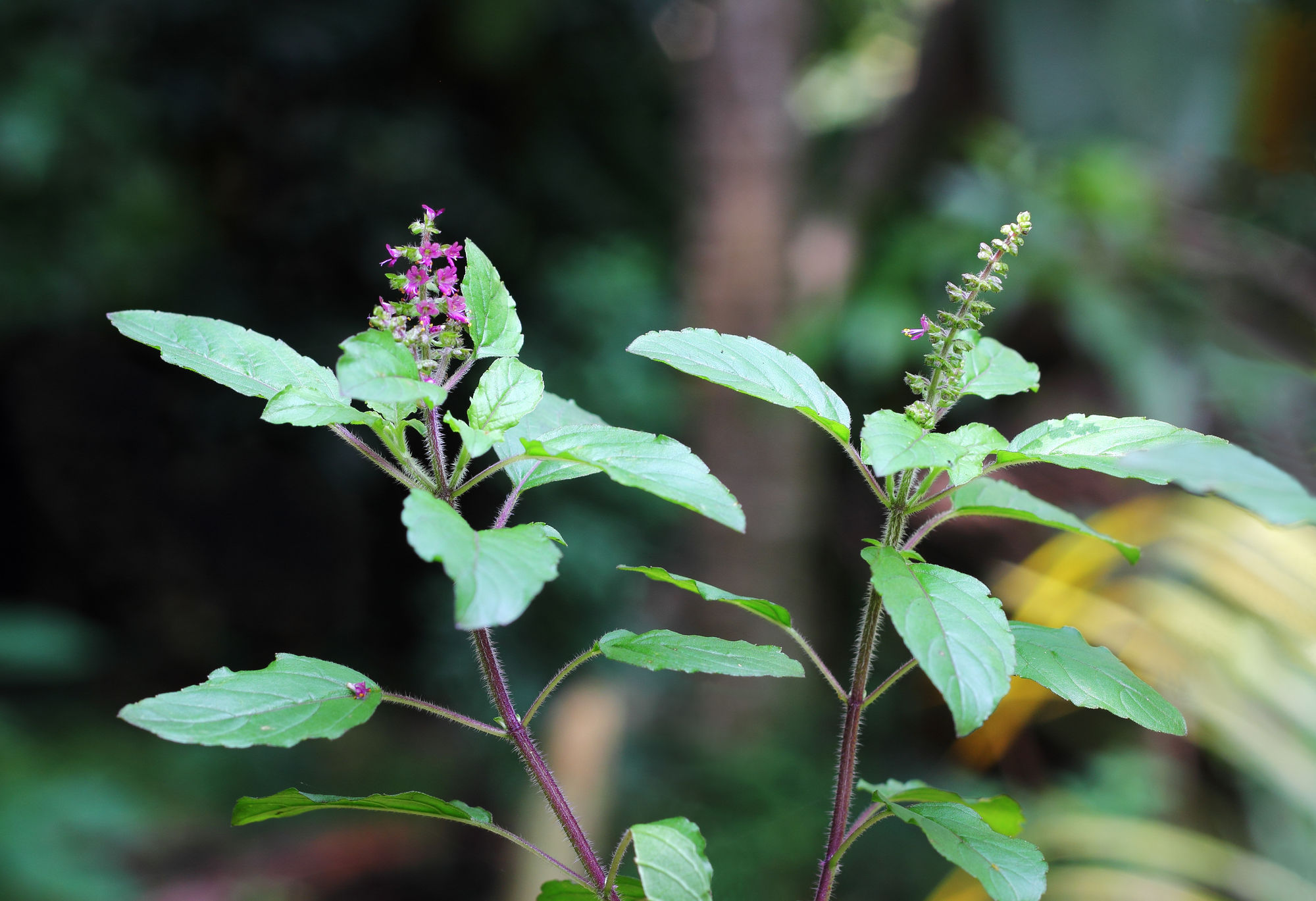 holy basil herbal tea recipe