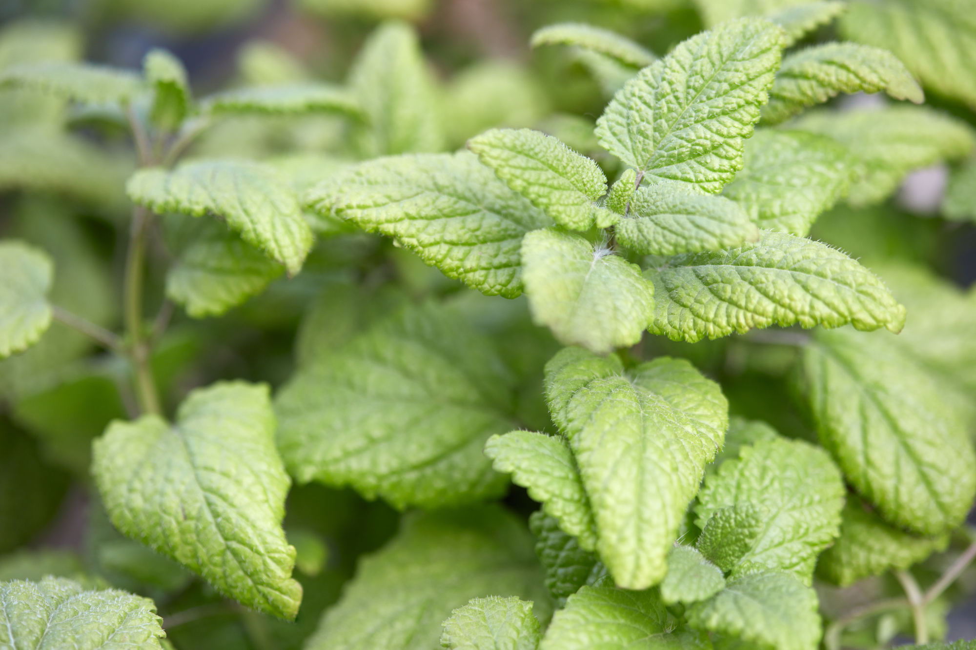 Rhoot Lemon Balm