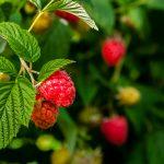 herbal tea recipe for fertility