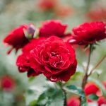 Rhoot Damiana and Rose Herbal Tea Recipe