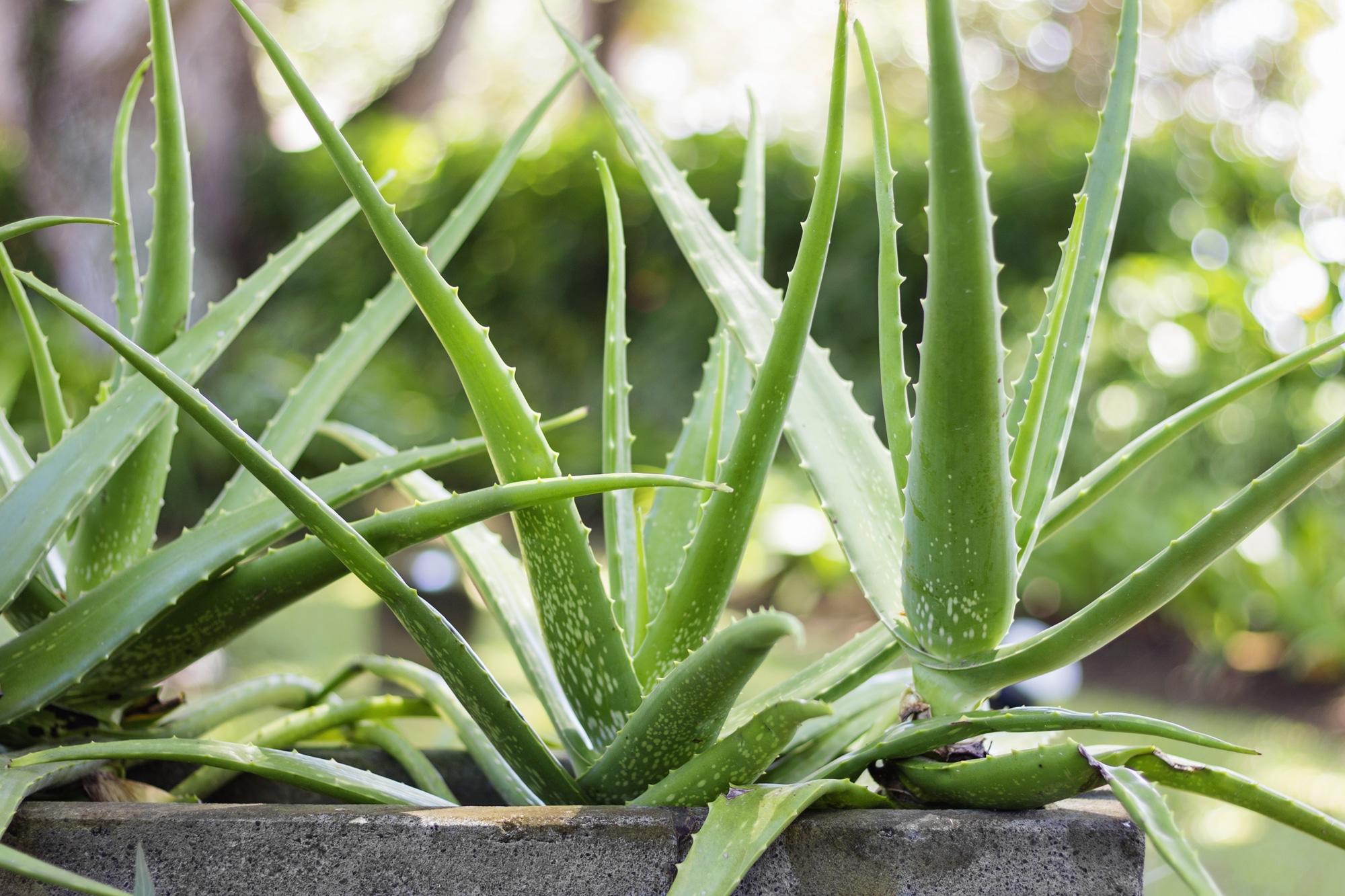 aloe vera indoor plants