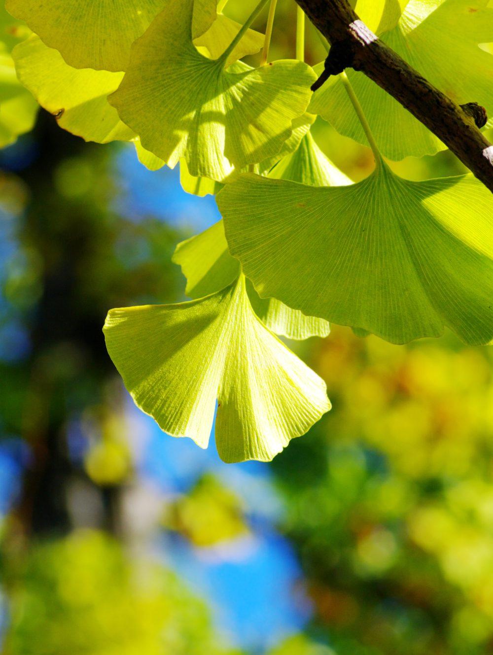 Rhoot Ginko Biloba Herbal Tea Recipe for Memory