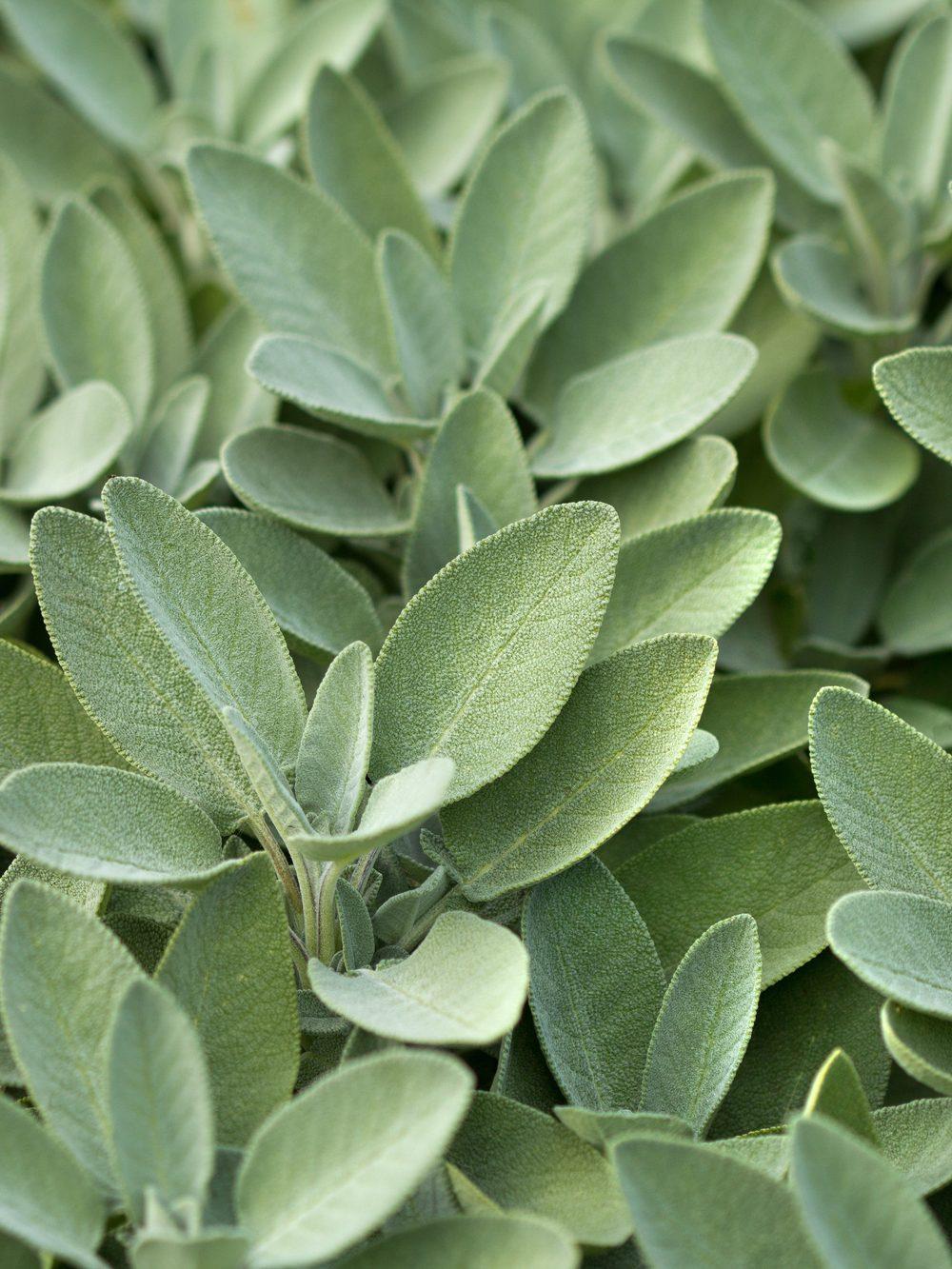 Rhoot White Sage Tea Recipe for Sore Throat