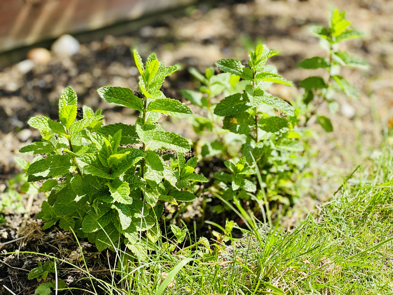 crowded mint plant
